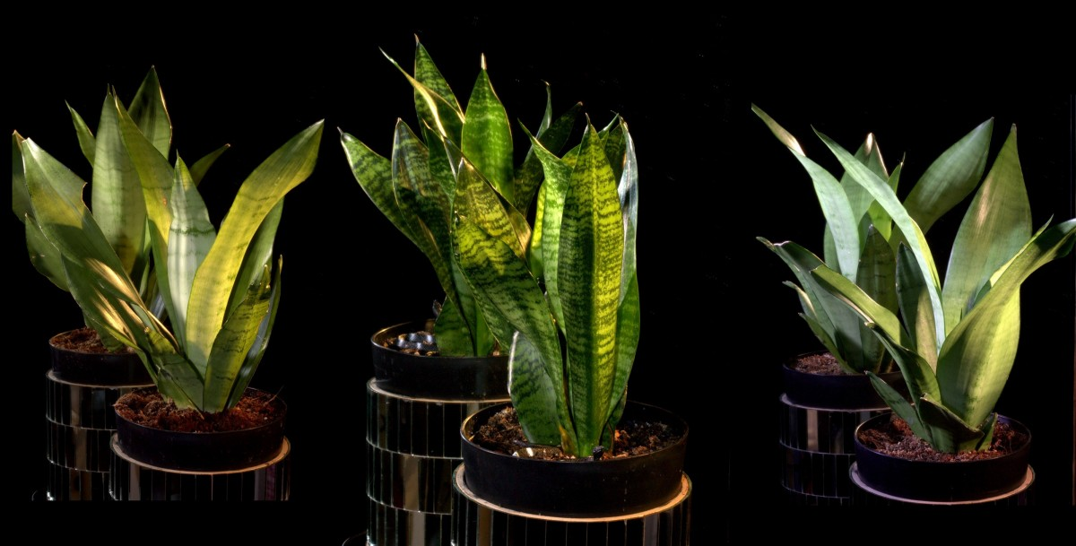 Plants ~ Four Sansevierias–Still Growing Well, 01/29