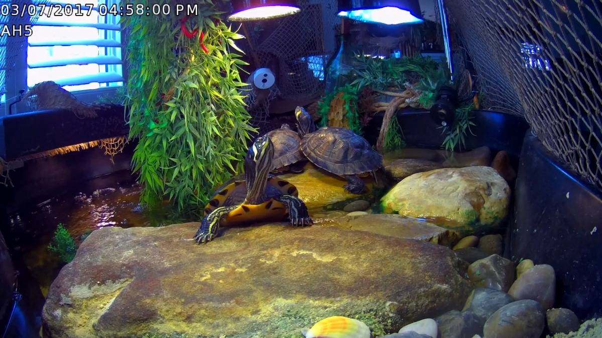 YBST ~ Yellow Bellied Slider Turtles–a peek today,03/08