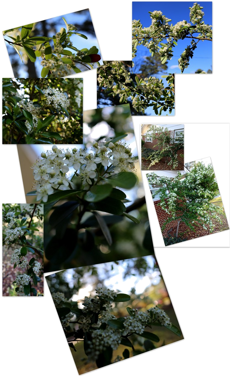 Shrubbery ~ Pyracantha–This is what happened [after '15 & '16 storm damage & a year of recovery–collage], 04/08