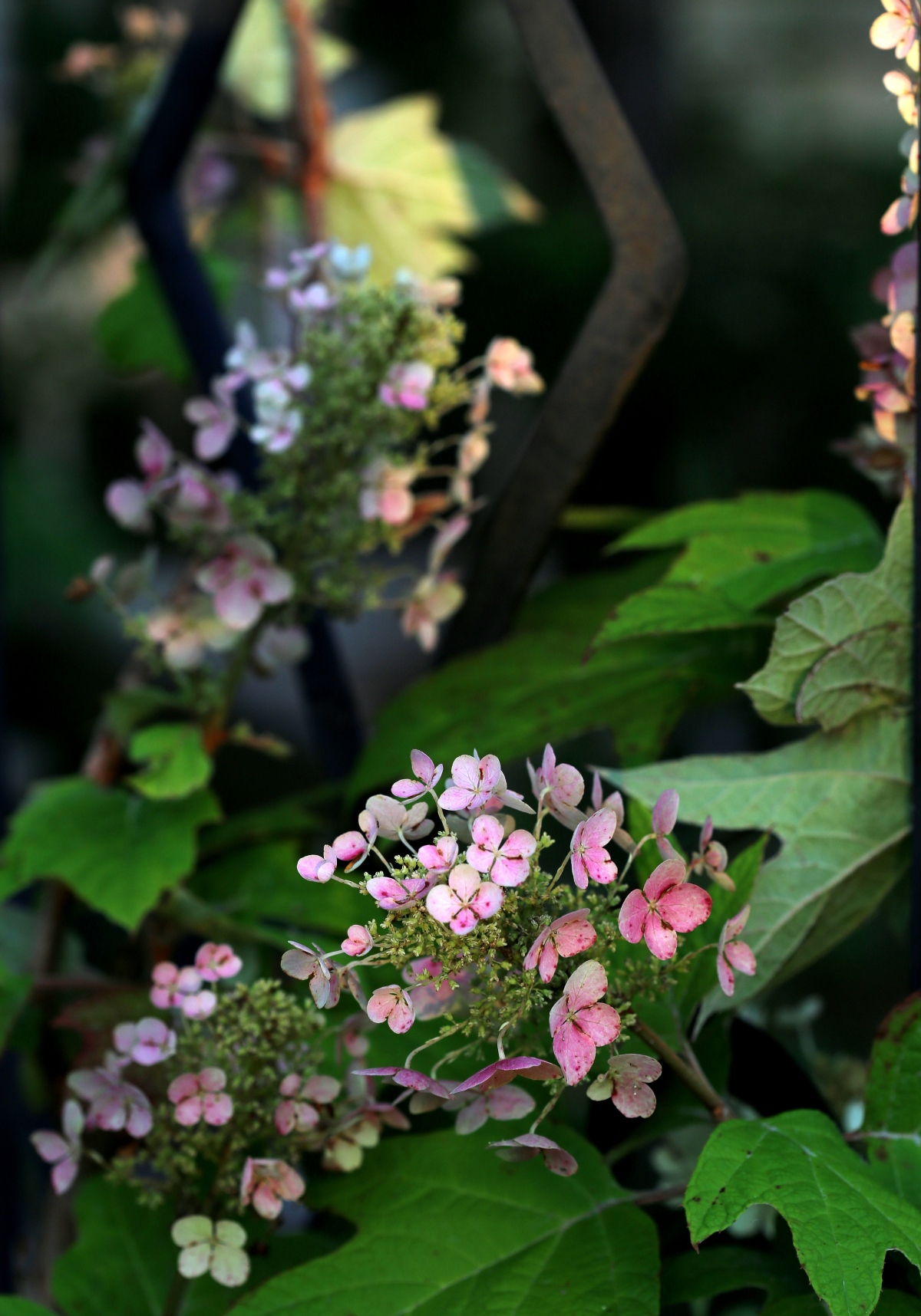 Photography ~ Backyard Landscaping–A Trellis & Oakleaf Hydrangea, 05/27