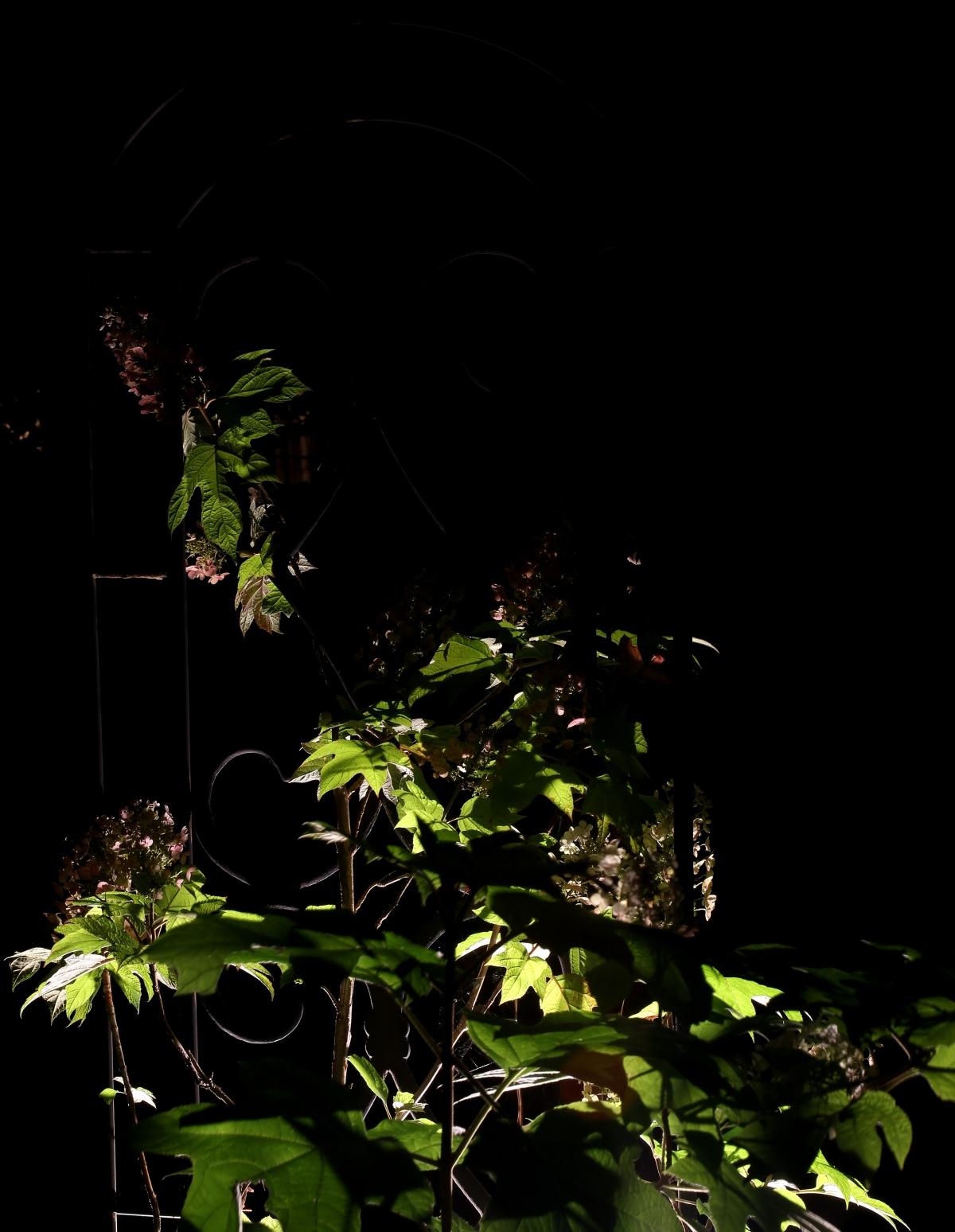 Photography ~ Backyard Landscaping–A Trellis & Oakleaf Hydrangea After Dark, 05/24 &05/27