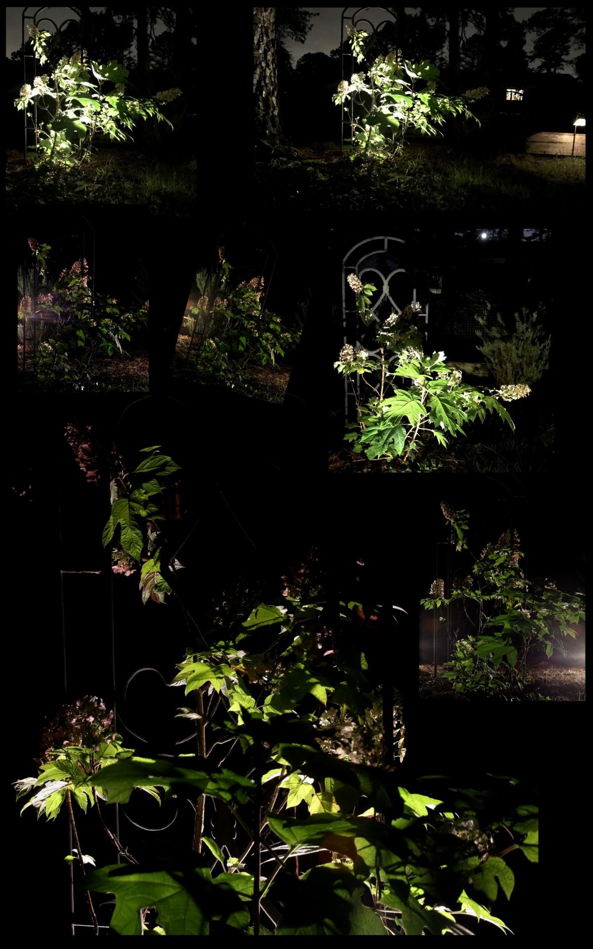 Photography ~ Backyard Landscaping–A Trellis & Oakleaf Hydrangea After Dark Collage & Slideshow, 05/24 &05/27