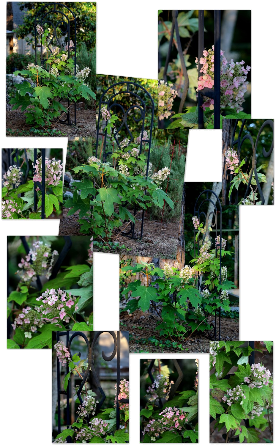 Photography ~ Backyard Landscaping–A Trellis & Oakleaf Hydrangea Collage & Slideshow, 05/30
