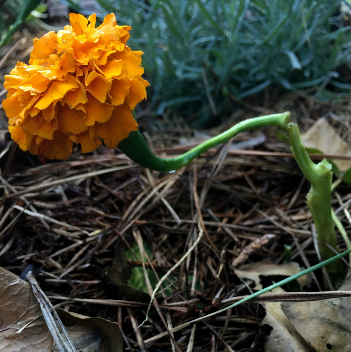 Photography ~ Marigolds that won't repel mosquitos, through the lens of an iPhone, 06/18