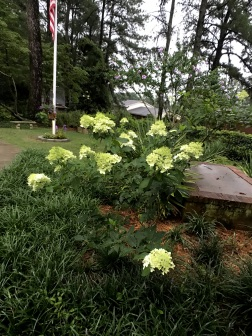 Lime Light Hydrangea are in bloom