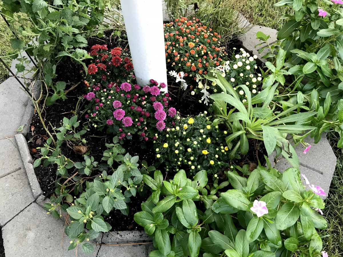 Landscaping ~ Backyard, Cedar Gardens–The Chrysanthemums are in the ground,09/03