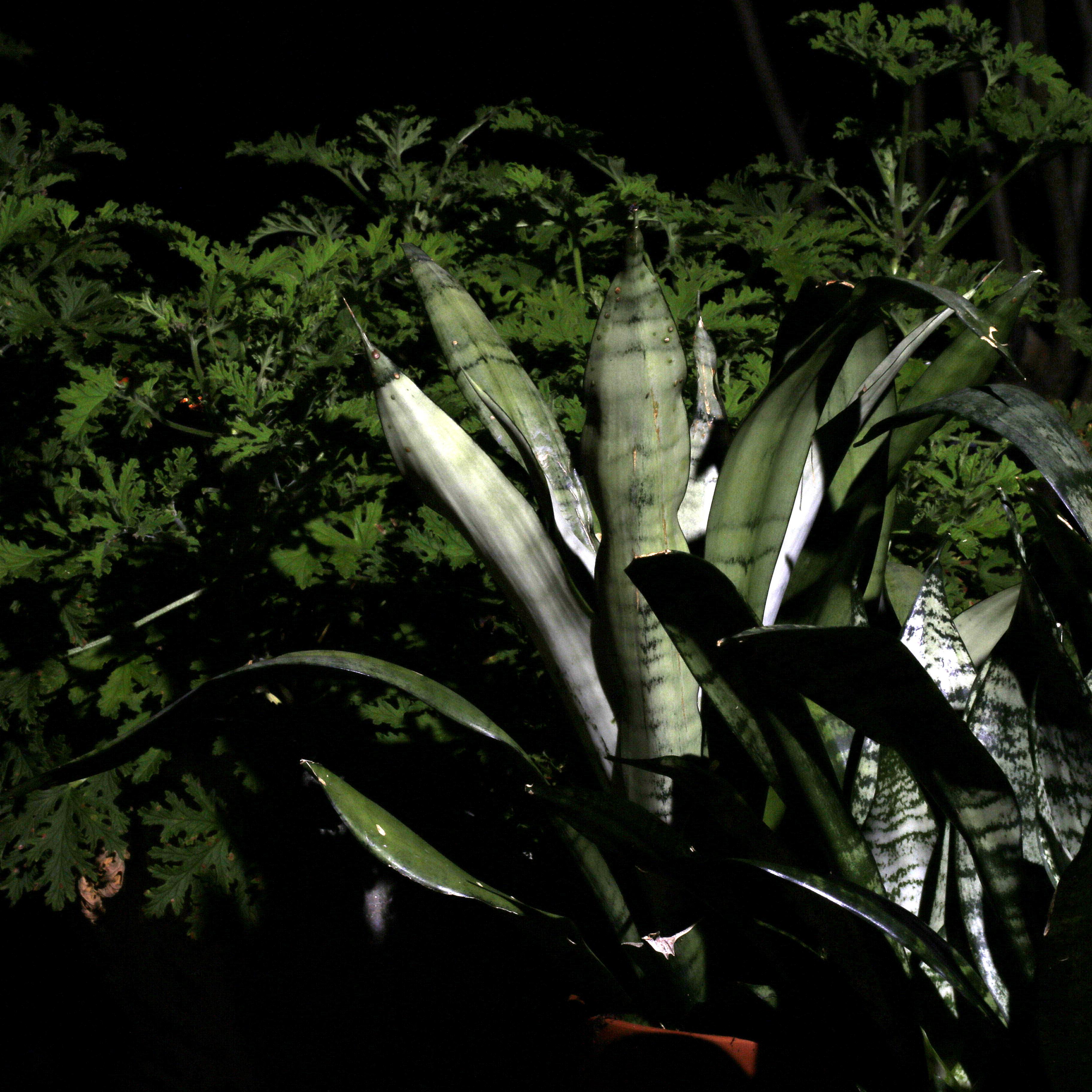 Photography ~ Gardening–Content Plants [Citronella & Sansevieria Trifasciata], 09/16