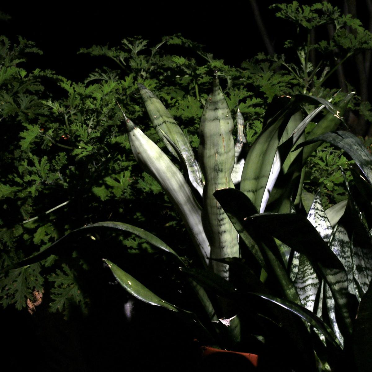 Photography ~ Gardening–Content Plants [Citronella & Sansevieria Trifasciata],09/16
