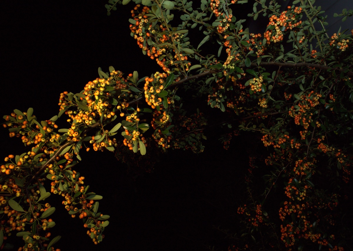 Photography ~ Pyracantha orange berries, in the dark, 09/18