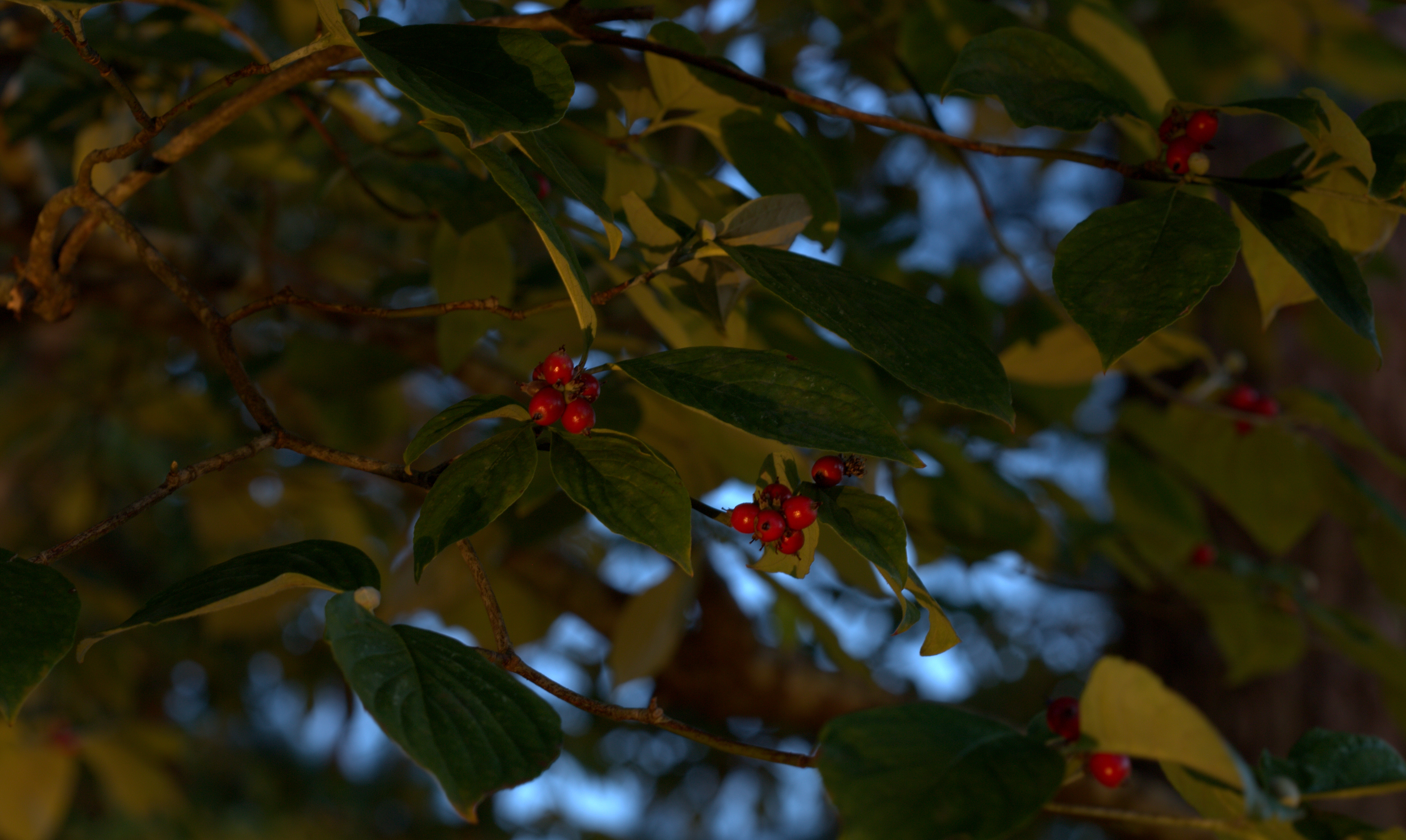 Photography ~ Dogwood berries at twilight and at night, 09/19