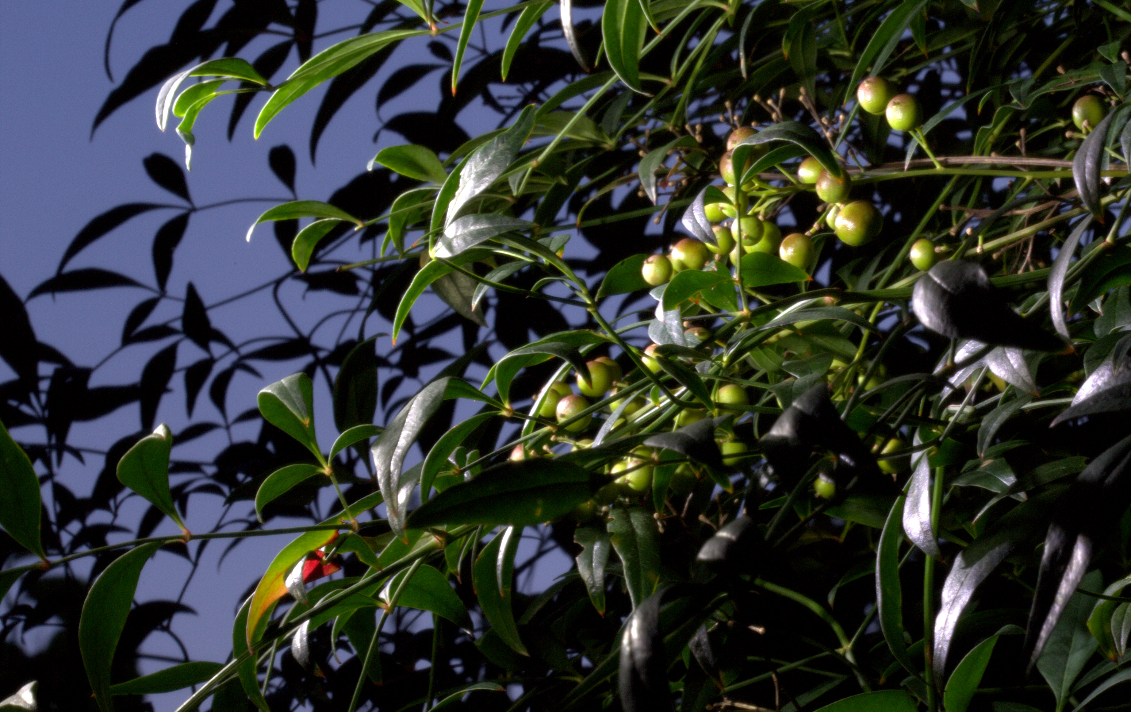 Photography ~ Shrubbery—Nandina Domestica [after dark], 09/21