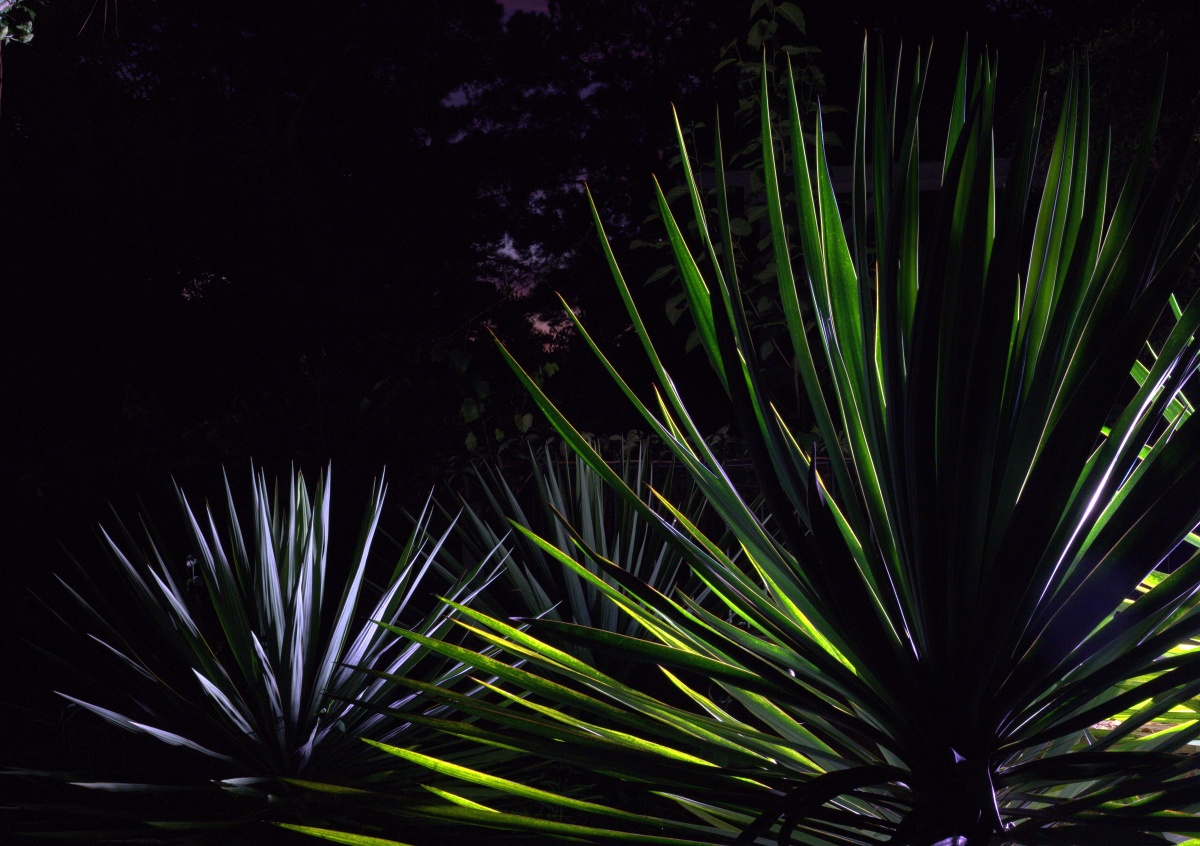 Photography ~ Shrubbery–Yuccas, twilight & after dark, 09/23