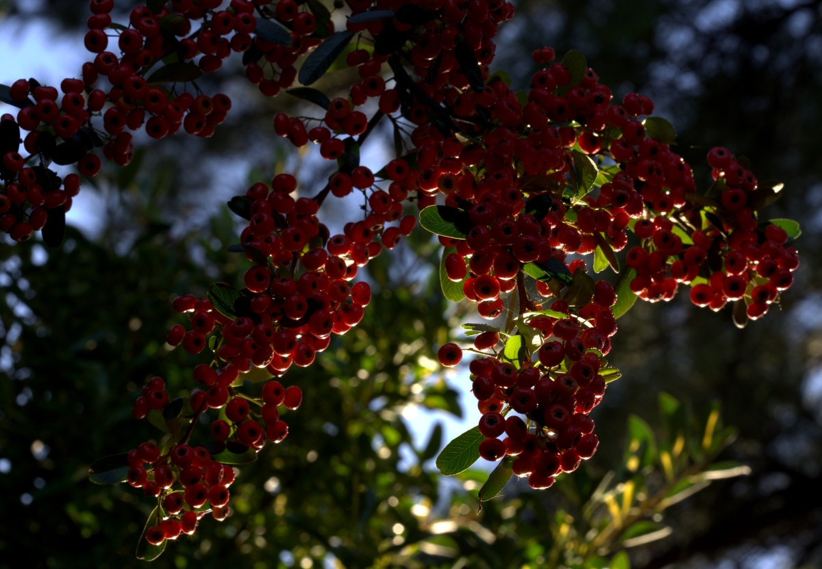 Photography ~ Pyracantha–Photographed during the afternoon Golden Hour, 10/06