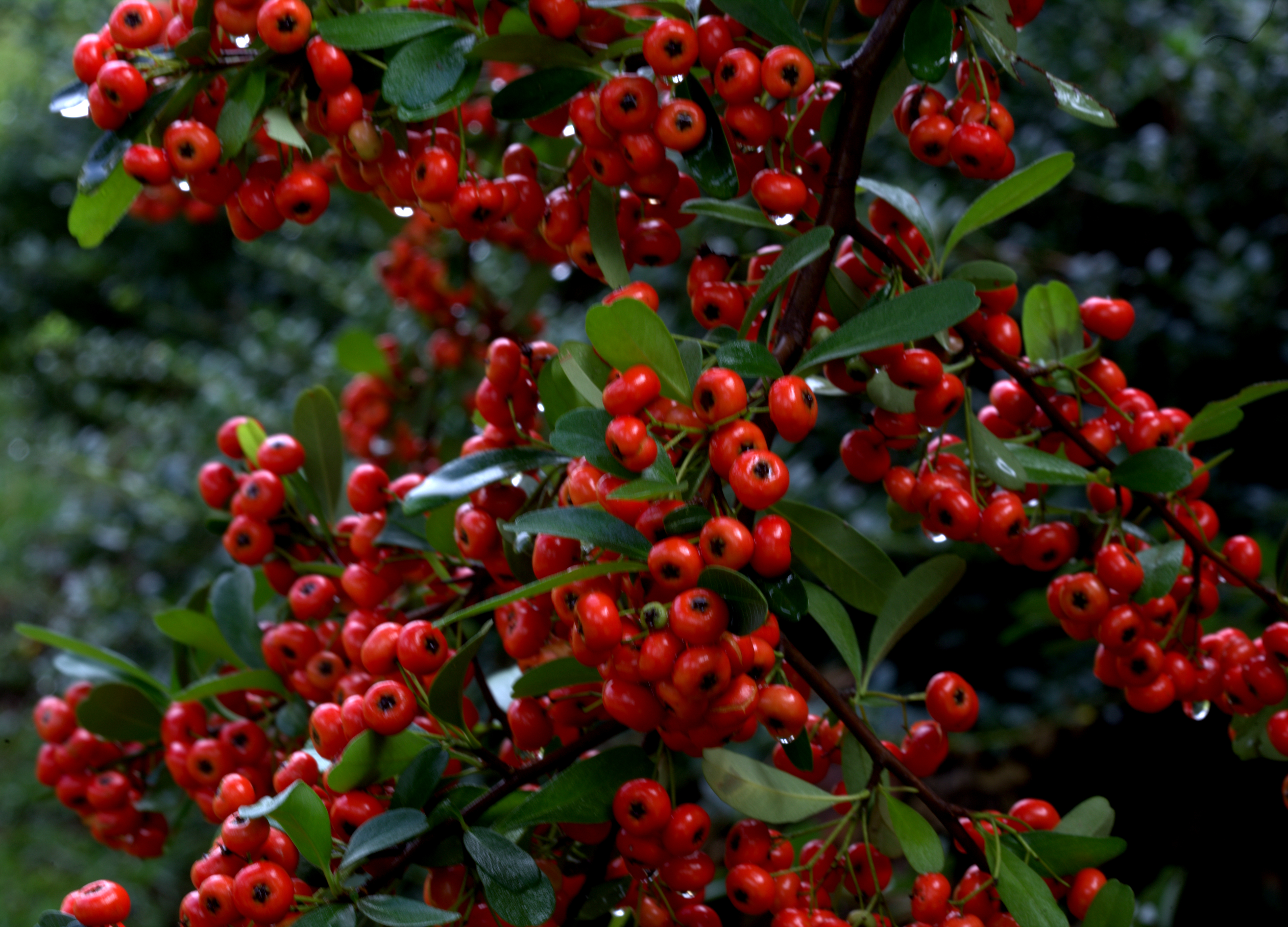 Photography ~ Pyracantha–After the Rain, 10/11