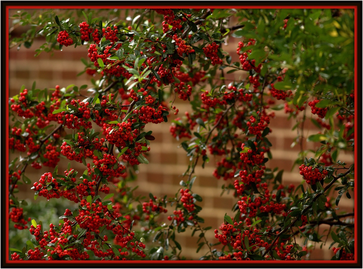 Photography ~ Pyracantha–During Rain, 10/16