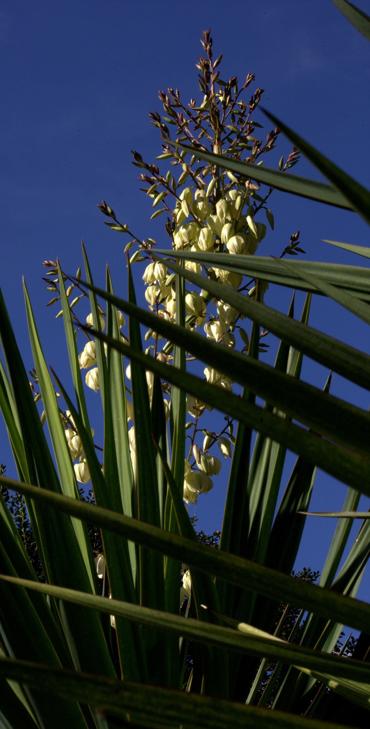 Photography ~ My Autumn Blooming Yucca–pictures by day,10/22