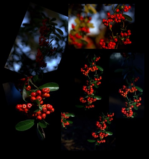 Late Nov Pyracantha