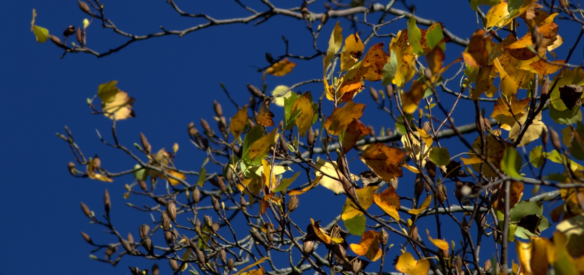 Photography ~ Autumn–Tulip Tree [last leaves], 11/10