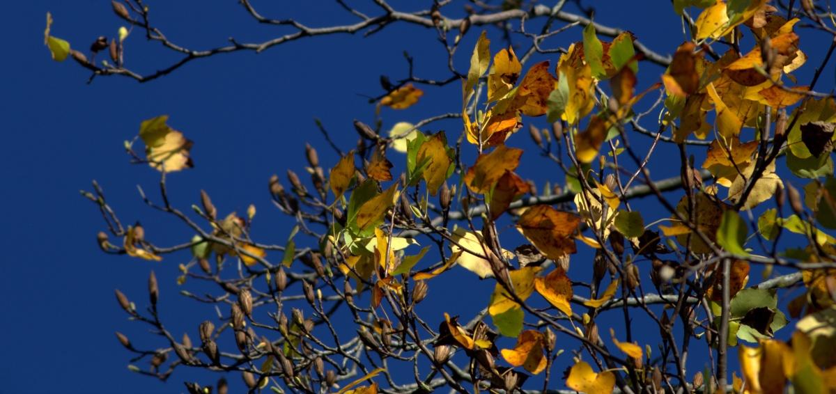 Photography ~ Autumn–Tulip Tree [last leaves],11/10