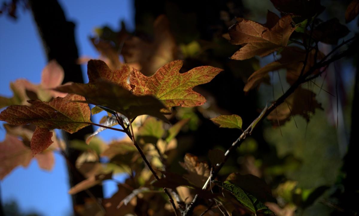 Photography ~ Autumn–Oakleaf Hydrangea,11/27