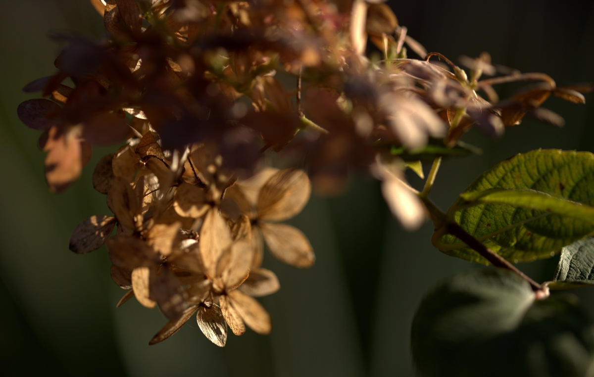 Photography ~ Autumn–Late November Limelight Hydrangea, 11/29