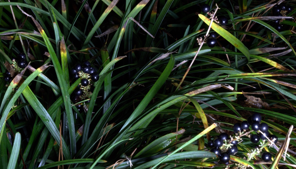 Photography ~ Autumn–Early December Liriope black berries, in the dark, 12/02