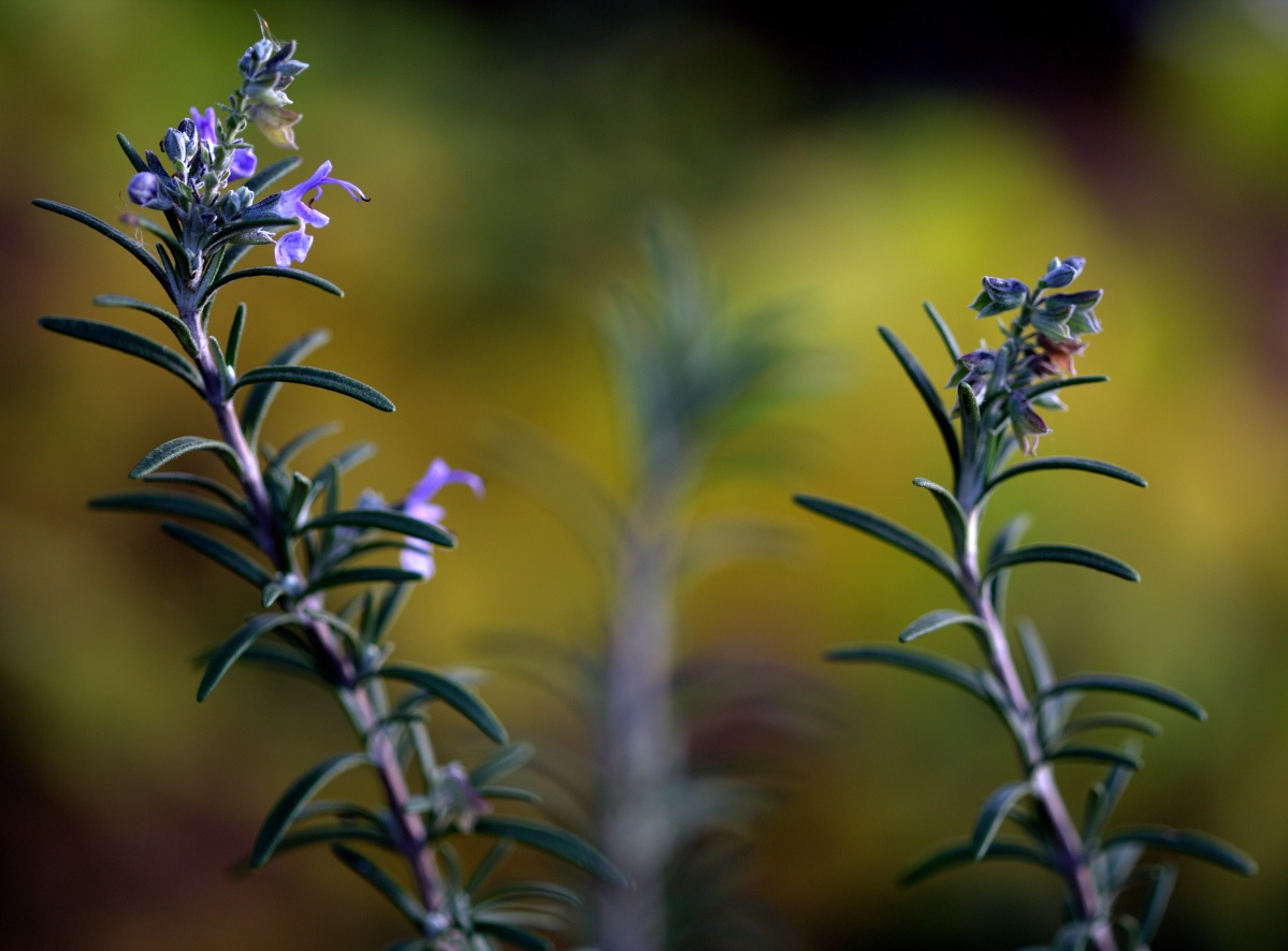 Photography ~ Autumn–Early December Rosemary Blooms, 12/05