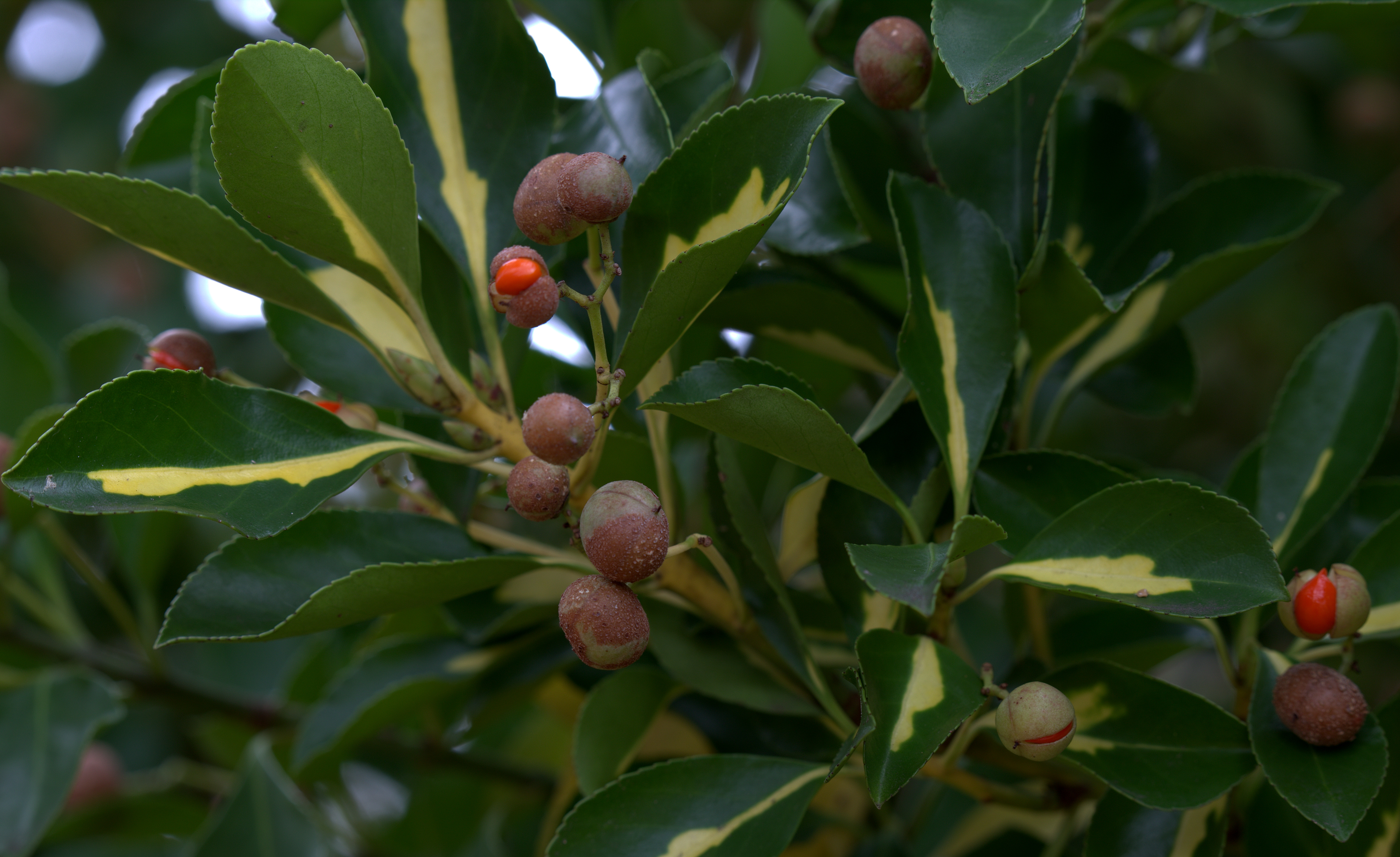 Photography ~ Autumn–Early December Gold Spot Euonymus Variegated Shrub with Autumn Berries, 12/07