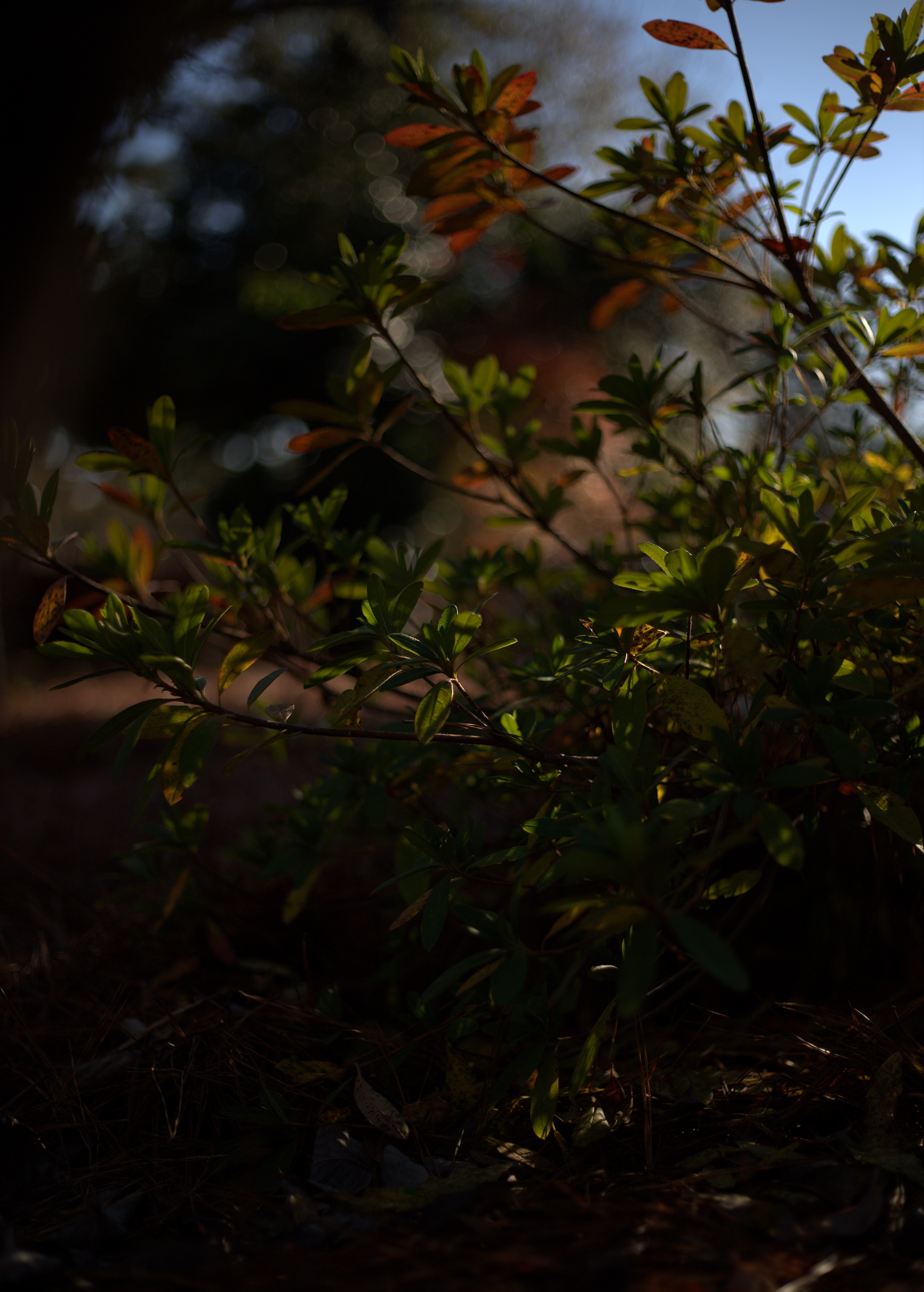 Photography ~ Autumn–Mid December Azaleas and Pine Straw, 12/11