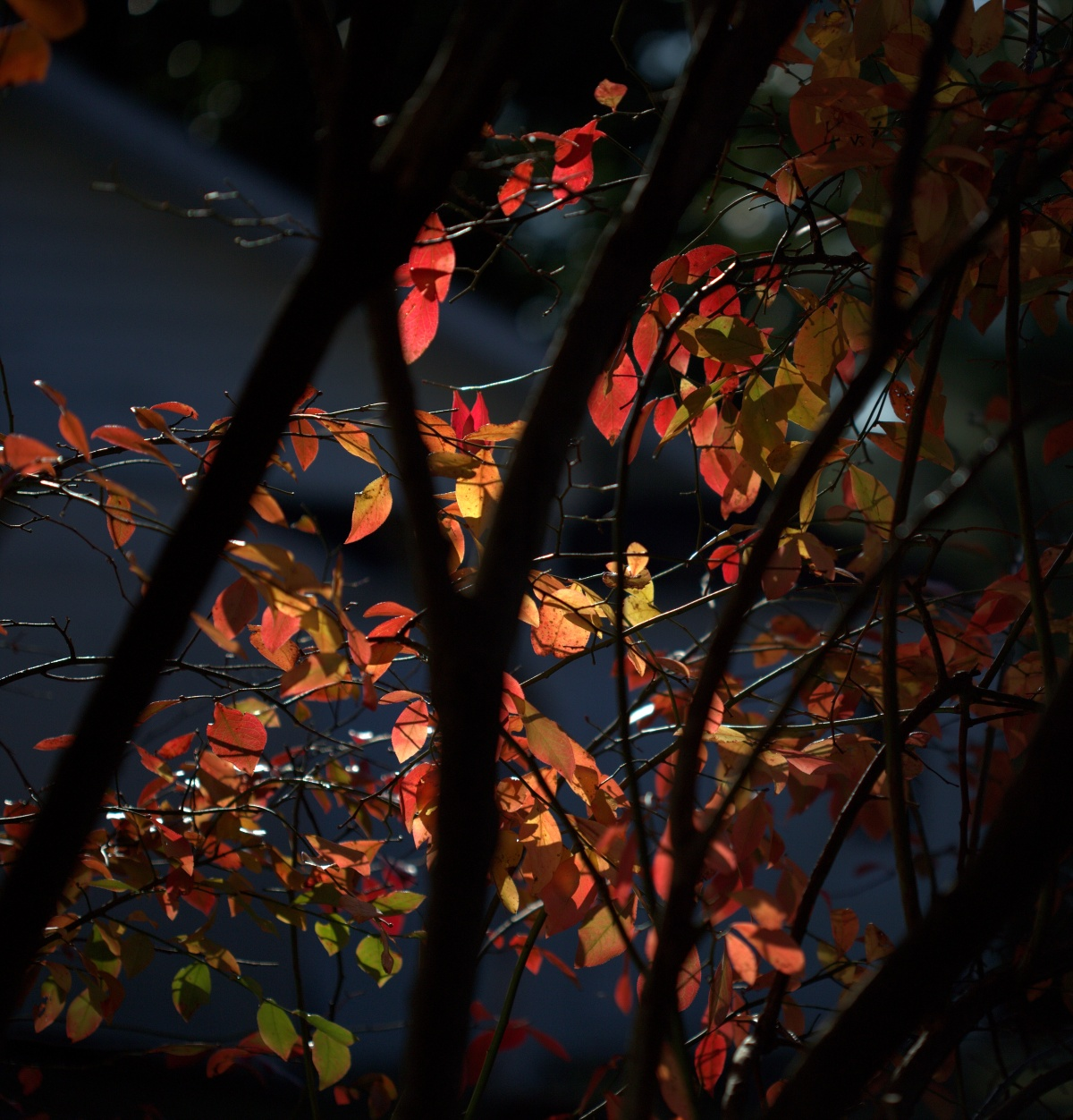Photography ~ Winter–Mid-December Blueberry Leaves, 12/21[Solstice]