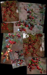 February Pyracantha Berries Collage