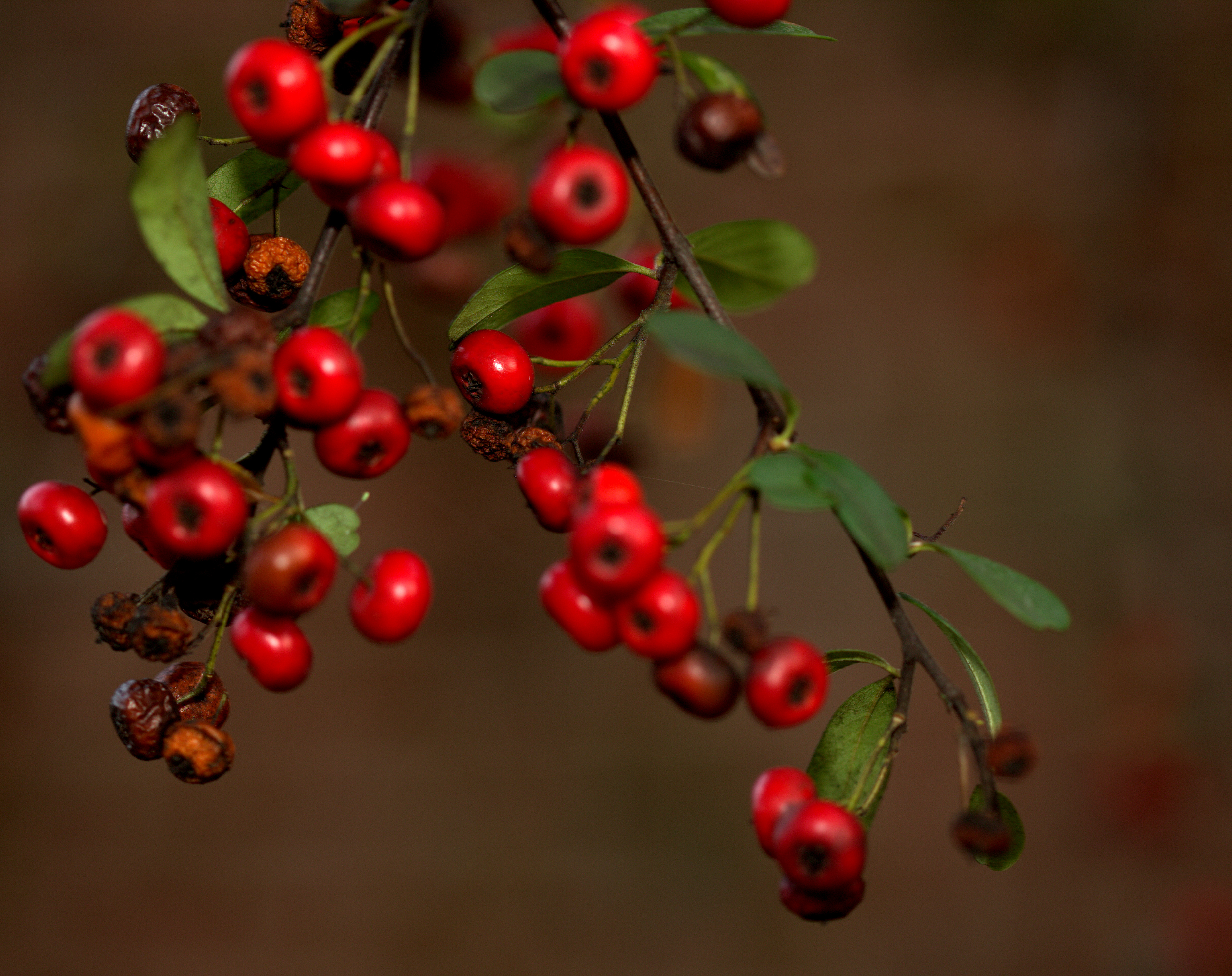 Photography ~ Pyracantha–Winter Berries, 02/15