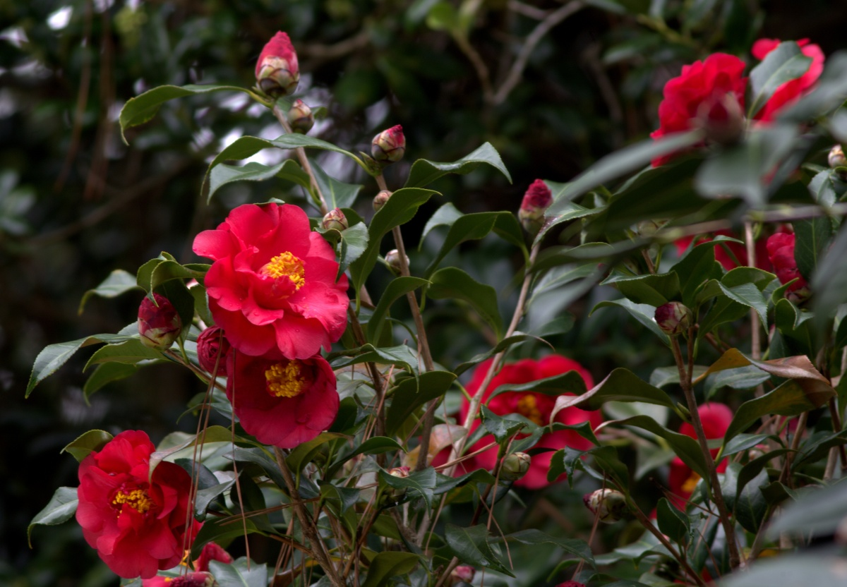 Photography ~ Camellias are in Bloom, 02/26