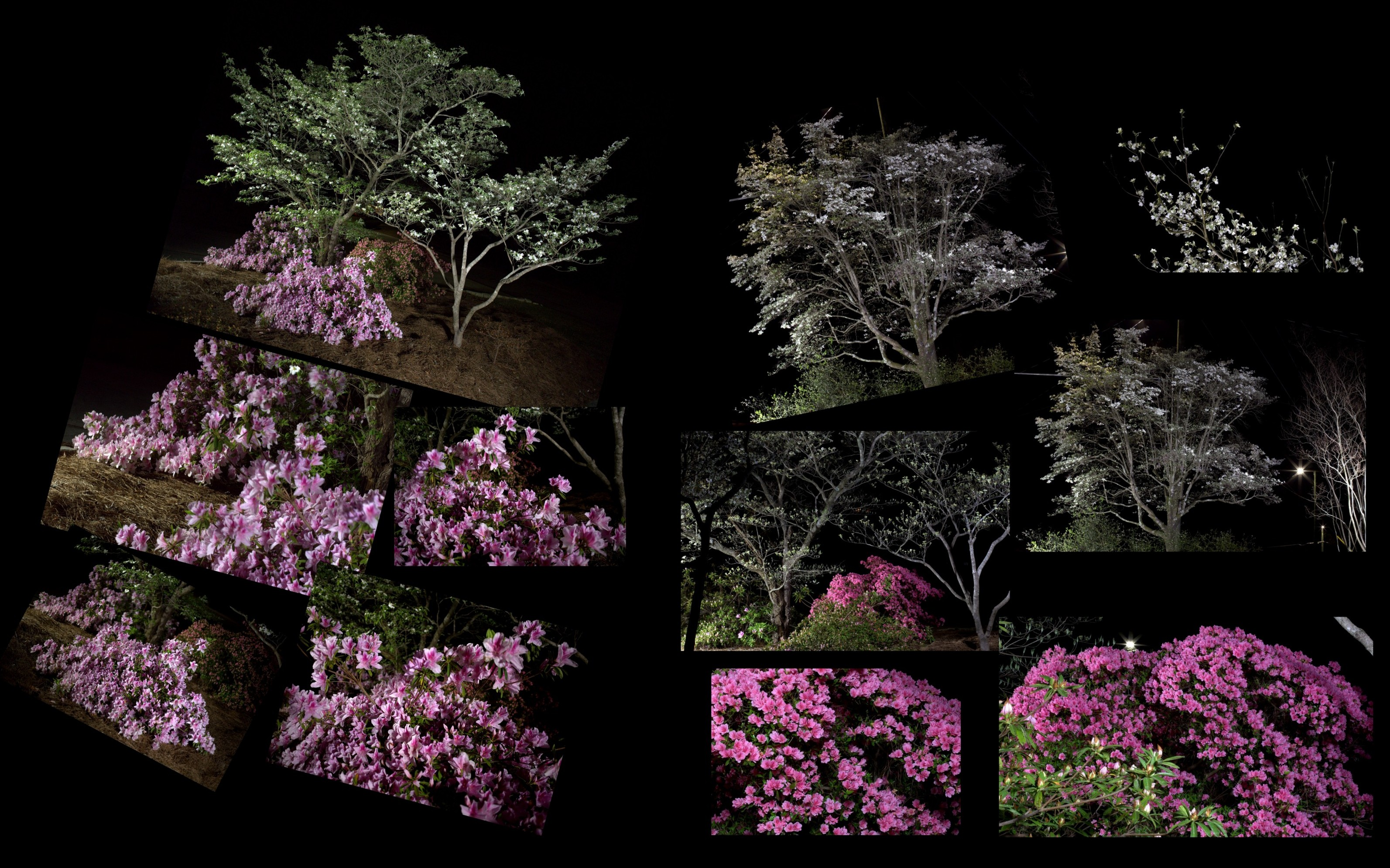 Photography ~ 04/02 and 04/13 Azaleas & Dogwoods Photo Shoots Combined