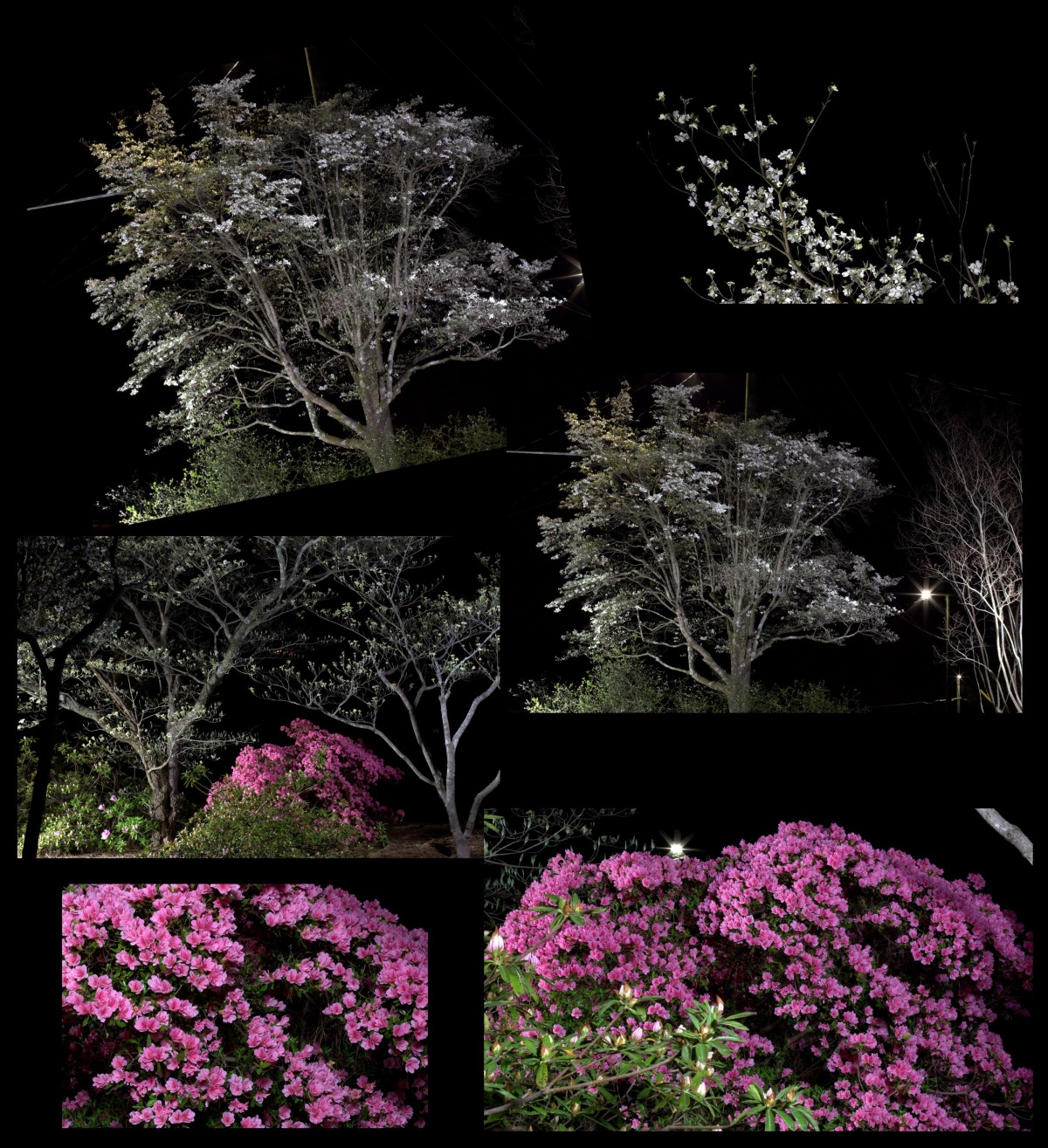 Photography ~ Azaleas & Dogwoods [after dark], 04/02