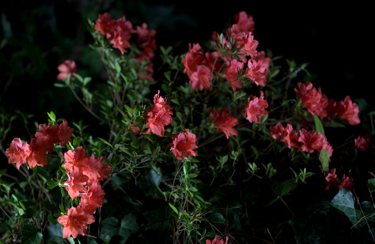 Photography ~ Deep Pink Azalea, Day & Night, 04/17
