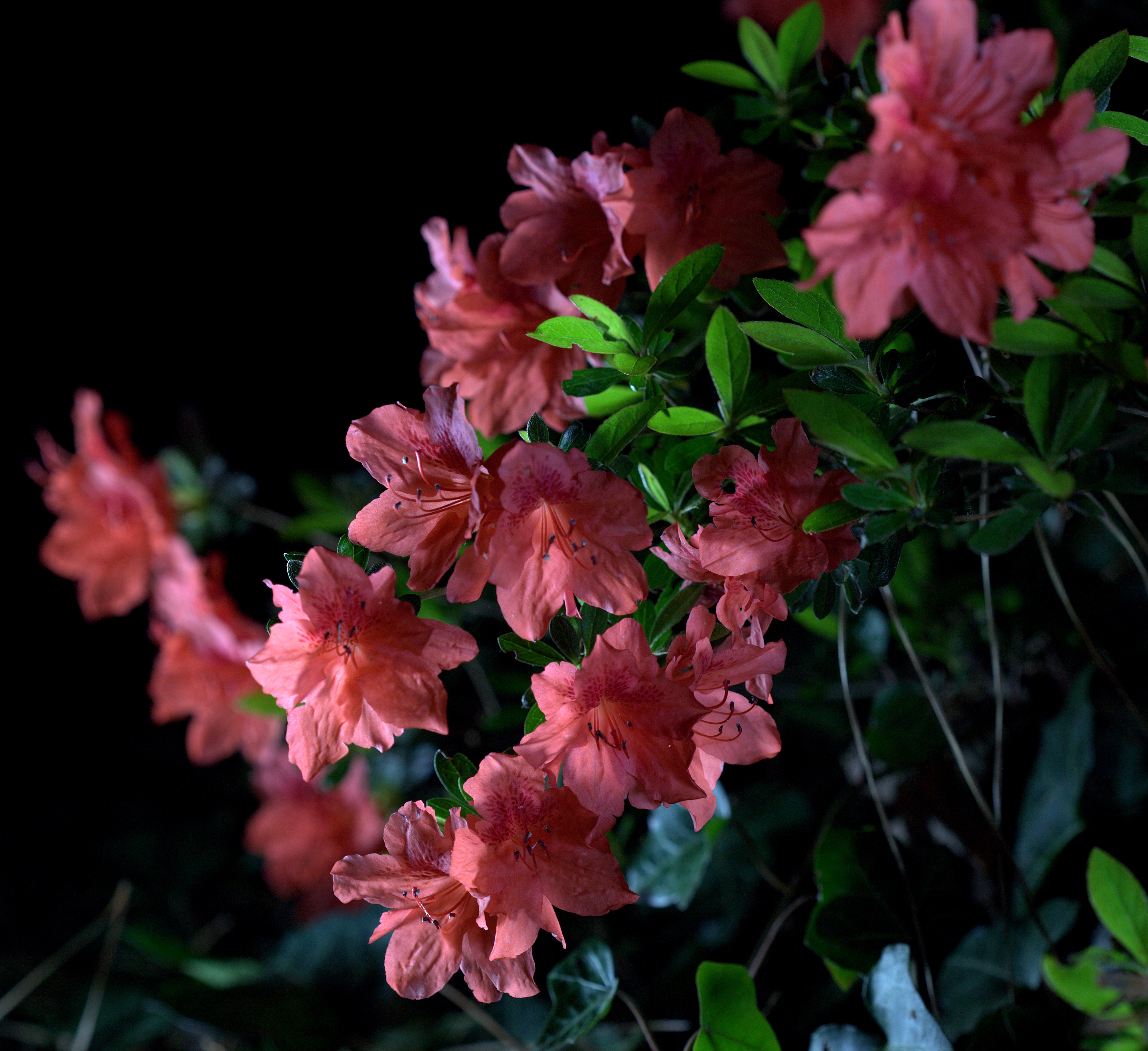 Photography ~ Deep Pink Azalea, After Dark, 04/14