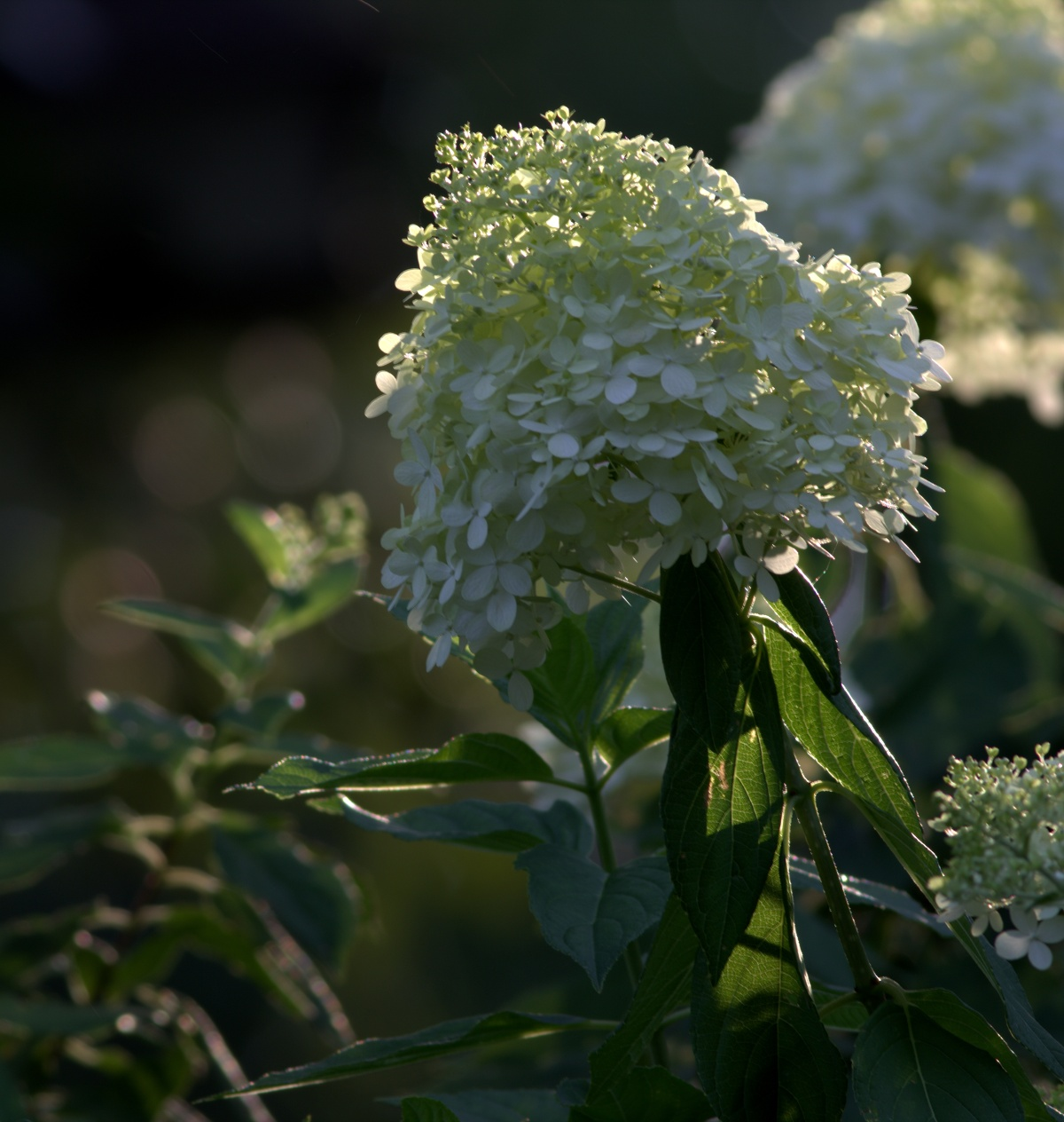 Photography ~ Limelight Hydrangea in Bloom, 07/09