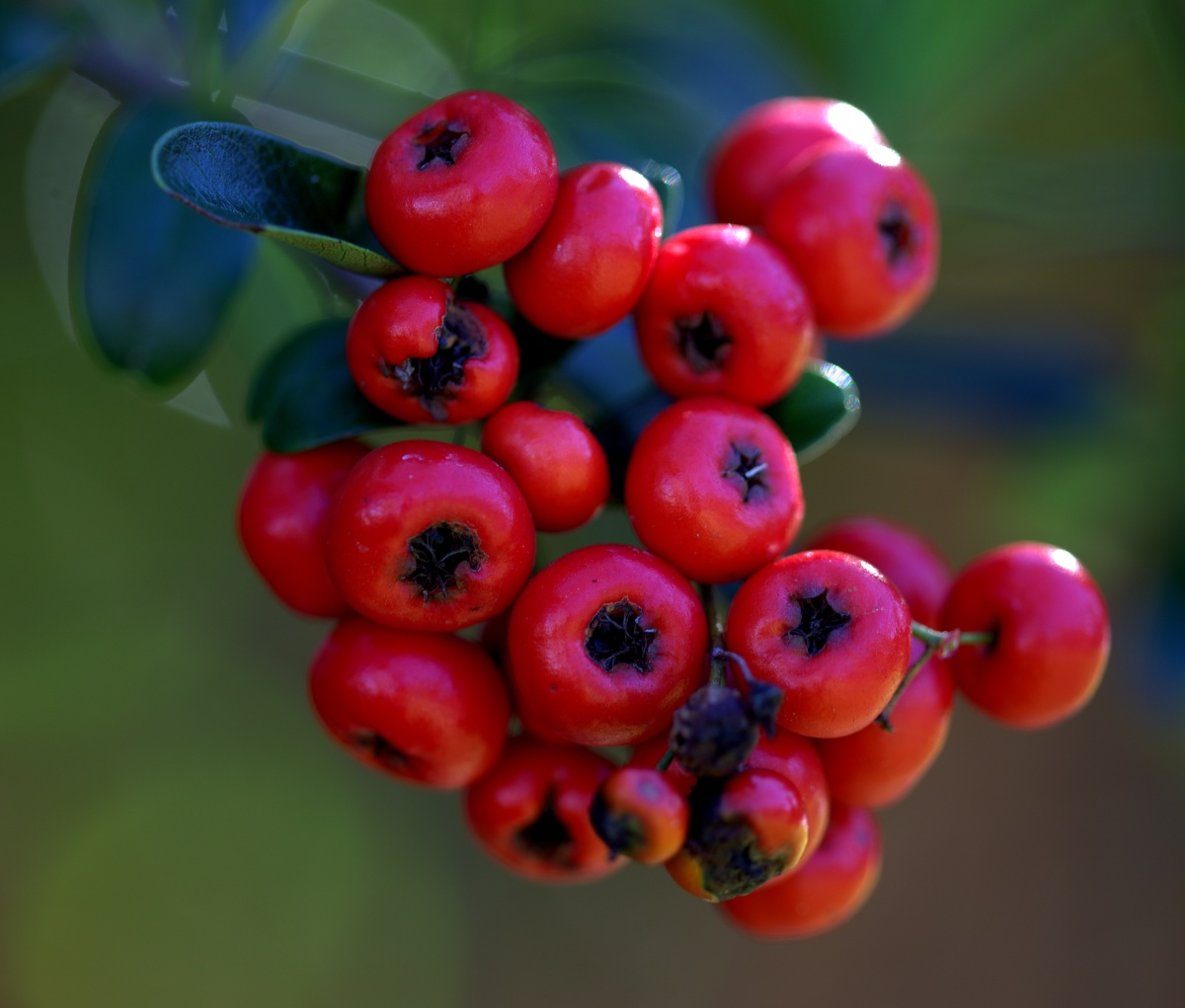 Photography ~ Autumn–Early November Pyracantha, 11/03